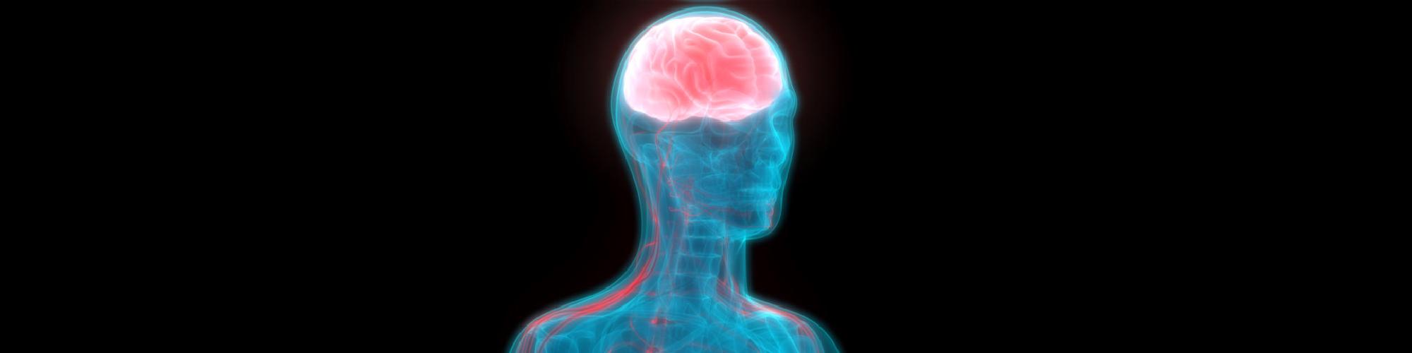 Human Brain with Nervous system Anatomy